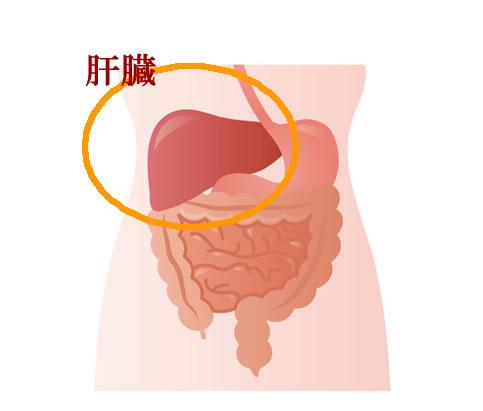 肝臓_臓器全体